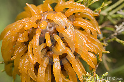 Cedar Apple Rust Fungus