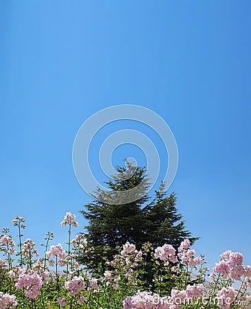 Cedar Behind Pink Flowers