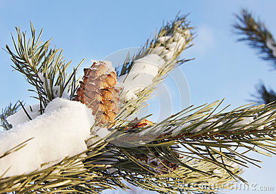 Cedar cone on snow covered branch