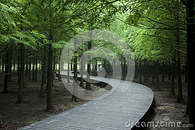 Cedar forest with curving wood road