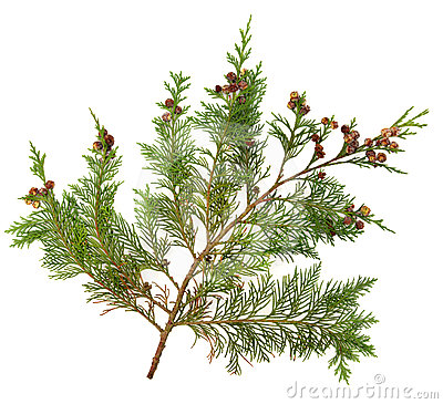 Free Cedar Leaves Royalty Free Stock Image - 24423906