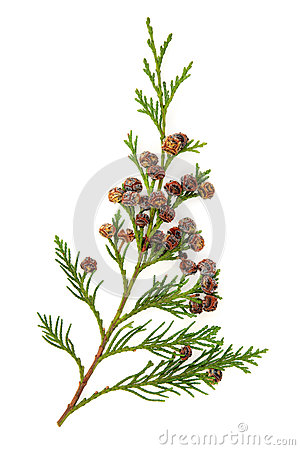 Free Cedar Leaves Royalty Free Stock Images - 25494959