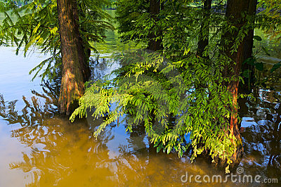 Cedar in the  river
