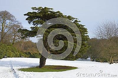 Cedar Tree (Cedrus libani)