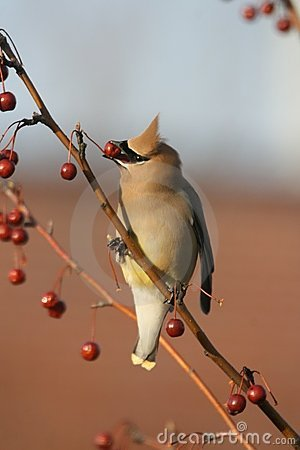 Free Cedar Waxwing Royalty Free Stock Images - 13134489