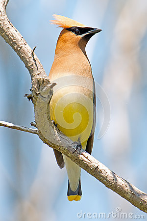 Free Cedar Waxwing Royalty Free Stock Photography - 25769247