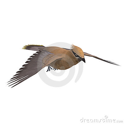 Cedar Waxwing. 3D rendering with clipping path