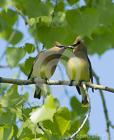 Free Cedar Waxwing Royalty Free Stock Images - 60688859