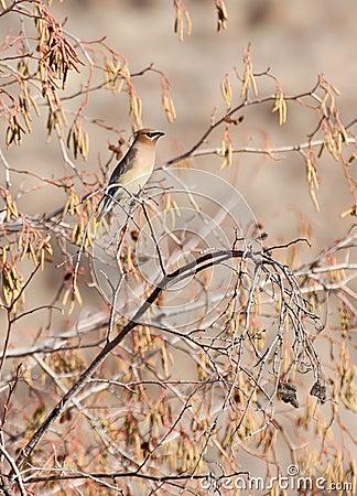 Cedar Waxwing Bird in Golden Foliage