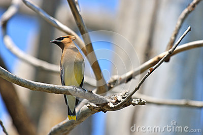 Cedar Waxwing on a Branch