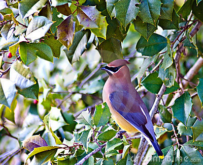 Cedar Waxwing in a Holly Tree