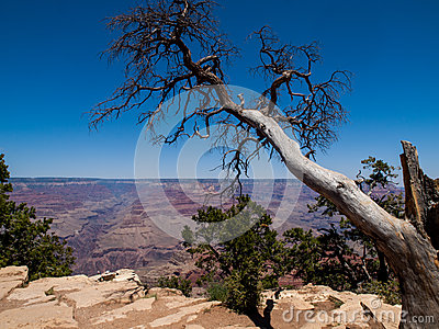 Ceder Tree at the Grand Canyon