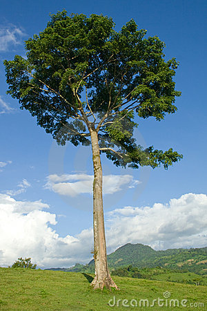 Free Ceiba Pentandra Stock Photography - 10953452