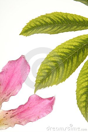 Ceiba tree color flower, isolated white background