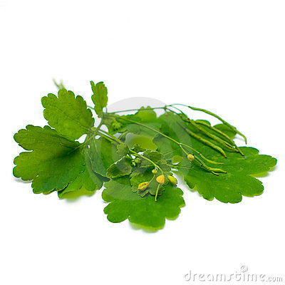 Celandine (Chelidonium majus), medicinal herbs