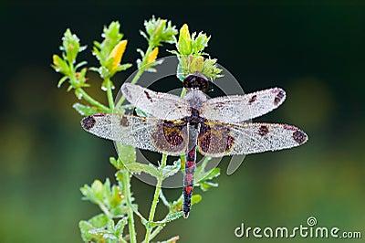 Celithemis elisa Dragonfly