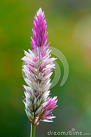 Free Celosia Argentea Royalty Free Stock Photography - 13848707