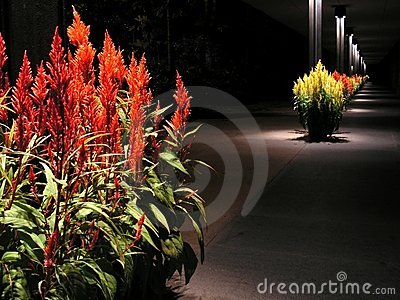 Celosia walkway at night