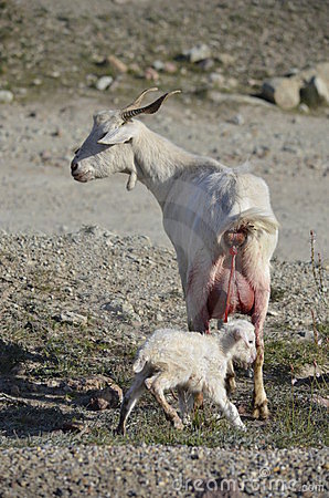 Celtiberian goat kid birth