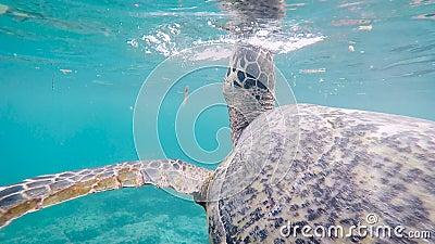 Cena fantástica da tartaruga indonésia enorme que nada profundamente no oceano Tartaruga de água doce grande da cor maravilhosa q vídeos de arquivo