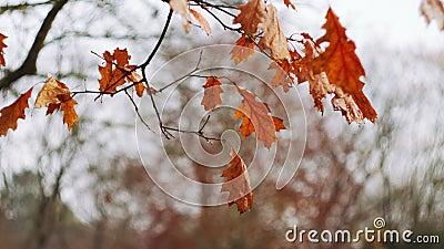 Cena natural das últimas folhas laranja tardias movendo-se ligeiramente com brisa de ar contra céu brilhante Cores do outono video estoque