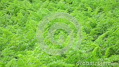 A cenoura cobre no jardim, cidade do Lat da Dinamarca, província de Lam Dong, Vietname video estoque