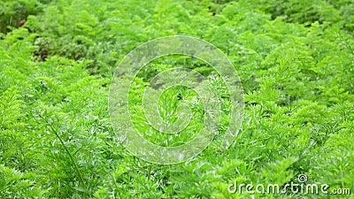 A cenoura cobre no jardim, cidade do Lat da Dinamarca, província de Lam Dong, Vietname filme