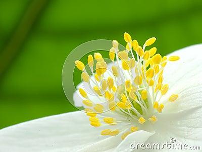 Center of Anemone flower 3