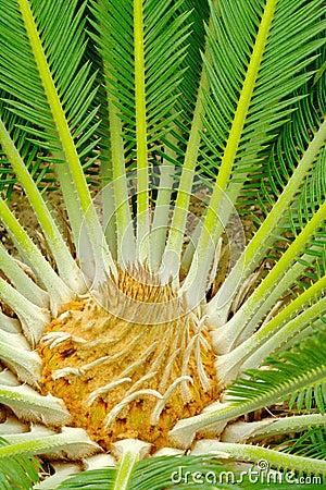 Center of a palmtree