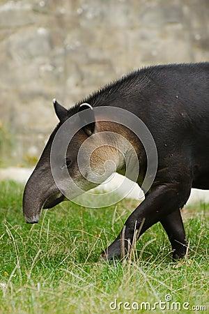 Central American Tapir