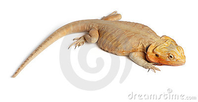Central Bearded Dragon, Pogona vitticeps