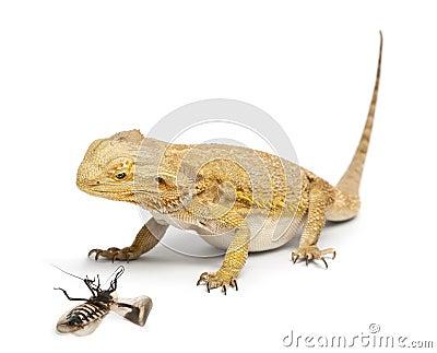Central Bearded Dragon, Pogona vitticeps