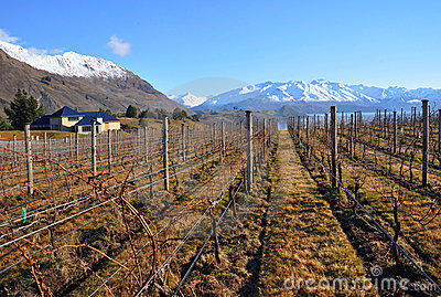 Central Otago Vineyard, New Zealand