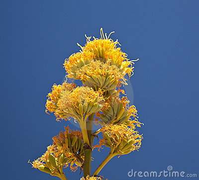 Century plants bloom in desert