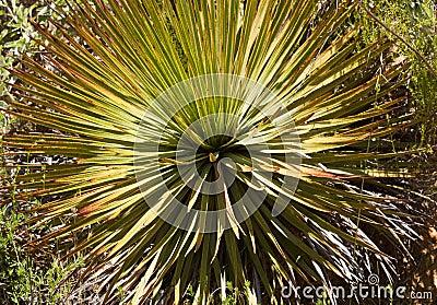 Century plants cactus in Anza-Borrego desert