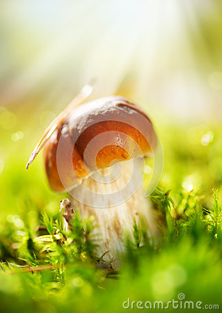 Cep Mushroom. Boletus