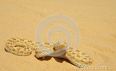 Cerastes cerastes (Sahara sand viper)