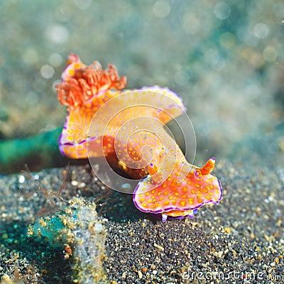 Ceratosoma trilobatum nudibranch