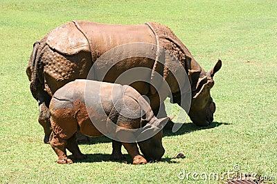 Ceratotherium simum African Rhinocerus
