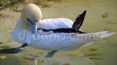 Cerca de un gannet del norte que impregna sus plumas en el agua, comportamiento típico de las aves, especie animal común Europa  metrajes
