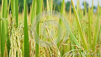 Cercar el campo de arroz en el jardín agrícola almacen de video