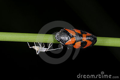 Cercopis vulnerata, red-and-black froghopper