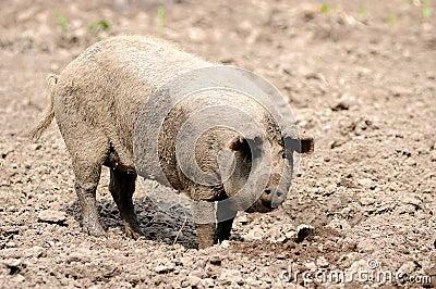 Cerdo en la granja