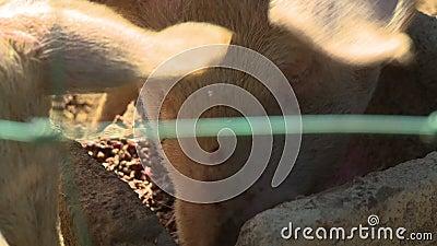 Cerdos comiendo en pluma almacen de metraje de vídeo