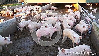 Cerdos sucios en una granja en el fango almacen de video