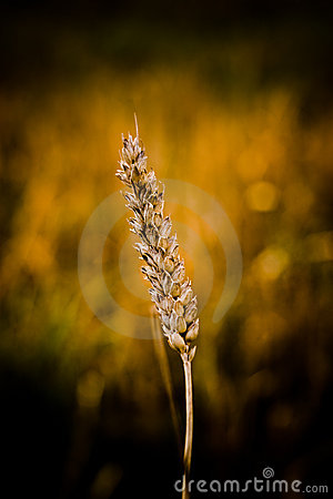 Cereal grains wheat