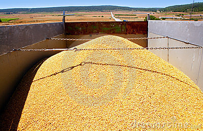 Cereal harvest wheat mound in truck