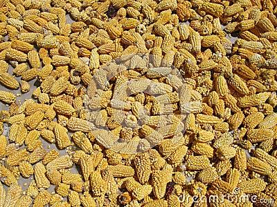 Cereale che si trova fuori per asciugarsi