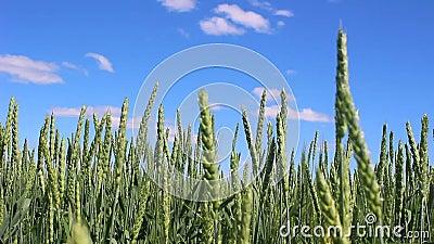 Cereales en el fondo de un cielo azul hermoso con las nubes almacen de metraje de vídeo