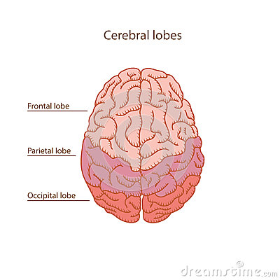 Cerebral lobes of human brain illustration Cartoon Illustration